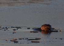 Wildlife-1ST~B~Otter~Detonnacourt Gary
