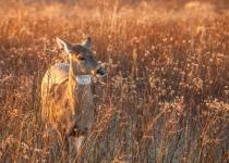WIldlife-2ND~B~Afternoon Deer~Brissette John