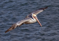 Wildlife-3RD~AA~CA Brown Pelican in flight~Lawson Ted