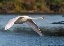 Wildlife-3RD~B~Swan In Flight~Bernard Kevin