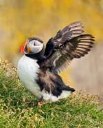 Wildlife-1ST~AA~Atlantic Puffin~Zuzarte_M_D Karl