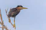 Wildlife-3RD~A~Green Heron on the Lookout~Marshall Tara