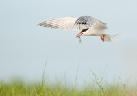 Class AA First Place, Common Tern in Flight by Karl Zuzarte