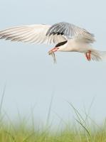 Class AA First Place, Common Tern in Flight by Karl Zuzarte