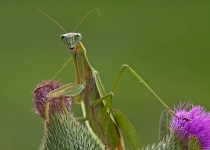 Class AA First Place, Praying Mantis on Thistle by Deb Page