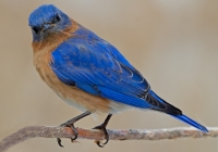 2nd-aa-eastern-bluebird-deb-page