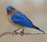 2nd-aa-eastern-bluebird-deb-page