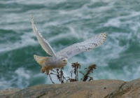 1st B, Snowy Owl in Flight by Dennis Ryan