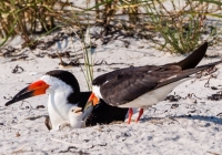 2nd A, Black Skimmers Feeding Newborn by Jim Turner