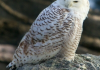 3rd B, Snowy Owl by Dale Greenbacker
