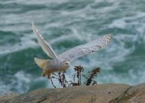 1st B, Snowy Owl in Flight by Dennis Ryan