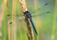 2nd B, Dragonfly on Seeded Stem by Warren Beckwith