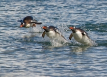 3rd AA, Gentoo Penguins Breaching by Dennis Goulet