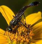1st-AA, Pollinating Wasp by David Uliss
