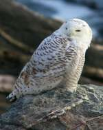 3rd B, Snowy Owl by Dale Greenbacker