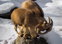 1st-A-Locking-horns-Lewalski David