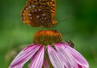 2nd-A-Butterfly Flower Beetle-Babin, Sue