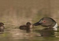 2nd-AA-Common Loon Feeding Chicks-Zuzarte Karl