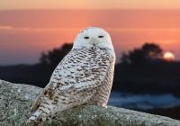 2nd-B-Snowy Owl_Detonnancourt Gary