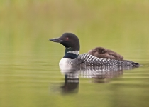 2nd Print A- Common Loon with chick on back-Karl Zuzarte