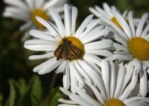 3rd-B-Moth on Daisy-Greenbacker Dale