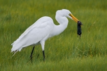 1st-A-Great_Egret_with_Catch_Kevin_Bernard