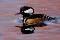 2nd-A-Hooded_Merganser-Kevin_Bernard
