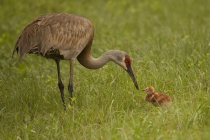 1st-B-Sandhill_Crane_and_Chick-Nancy_Maddocks