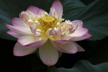 2nd-A-Lotus_No11-Louise_StPierre