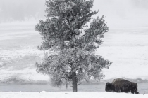 1st-A-Winter_in_Yellowstone-Marshall_Nancy
