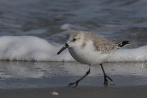 1st-B-Sanderling-Noreen_Kerrigan