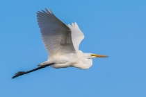 2nd-A-Great_Egret-Kevin_Bernard