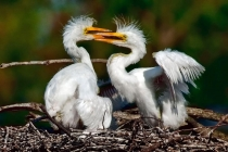 2nd-AA-Great_Egret_Chicks_Sparring-Mary_Doo