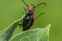 3rd-A-Red_Milkweed_Beetles-Tara_Marshall