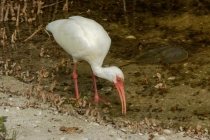 3rd-B-White_Ibis_Feasting-Warren_Beckwith