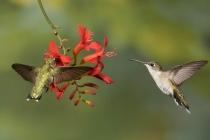 3rdAAHummingbirdsGoulet-Dennis