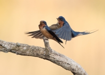 3rd AA, Barn Swallows at Work by Karl Zuzarte, MD