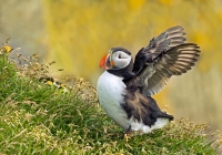 1st A print, Atlantic Puffin by Karl Zuzarte