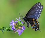 2nd AA, Black Swallowtail by Mike Marceau