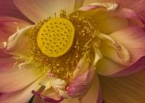2nd Place A~Lotus~Dennis Ryan