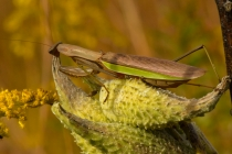 2nd-24BPreying-Mantis-on-Milkweed-PodBeckwith-Warren