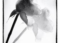 2nd_B&W_Comp1_Rose Shadow_NBerthiaume