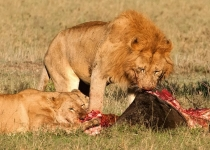AA~3rd~African LionsWildebeast Feast~Doo Mary