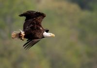 B~1st~Bald Eagle~DiMauro Jr. Dennis