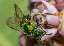 A~3rd~Sweat Bee on Milkweed~Marshall Tara