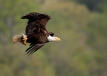 B~1st~Bald Eagle~DiMauro Jr. Dennis