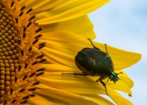 3rd-11~AA~June Bug on Sunflower~Uliss David