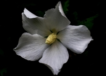 3rd-12~B~white rose of sharon~French Kathy