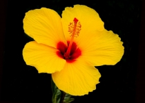 2nd_ColorPrintB_YellowHibiscus_FMullins_Open2
