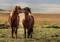 2nd~42~B~Icelandic Horses~Kerrigan Noreen